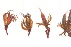Metamorphosis - Flax